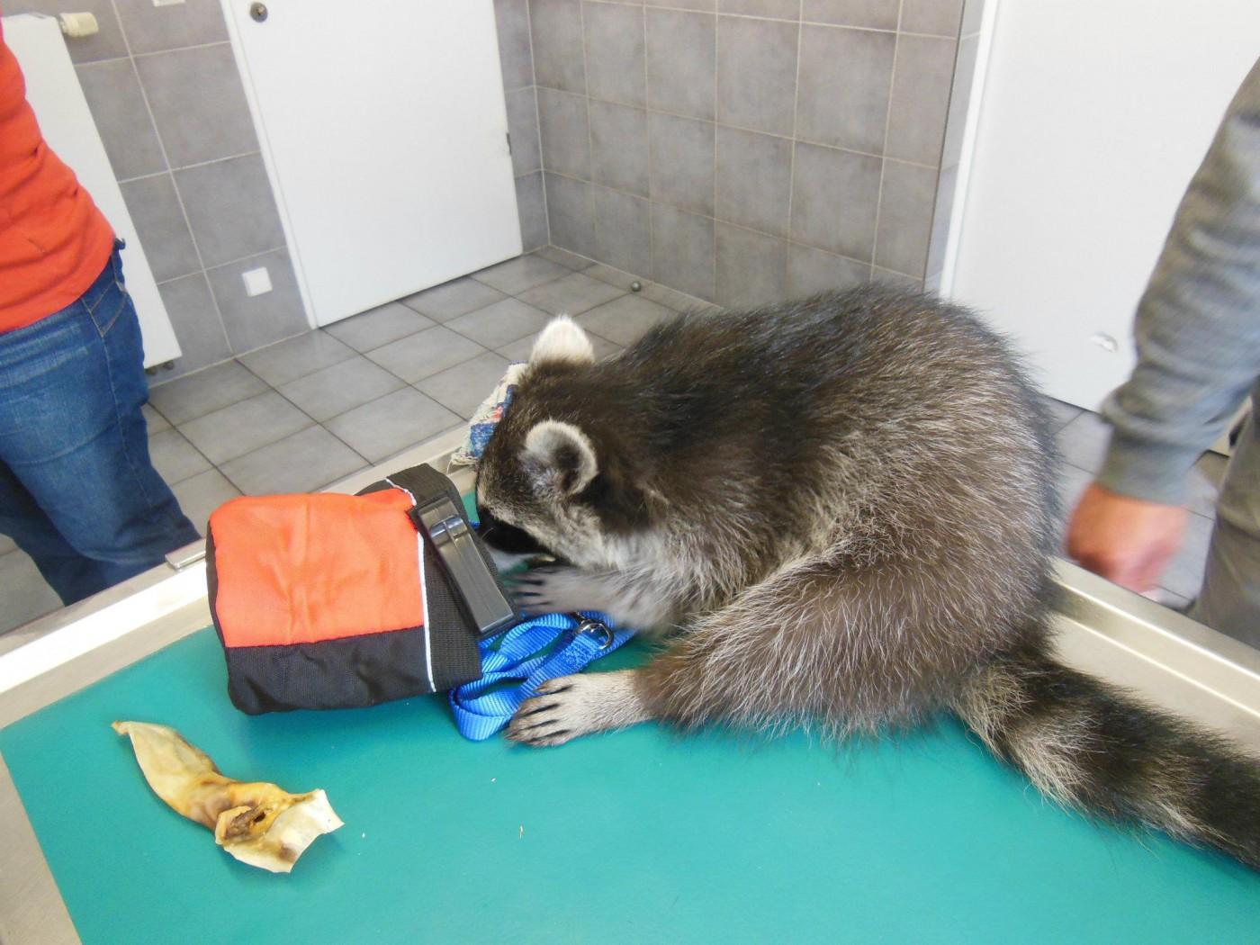 racoon2014-21-1400x1050